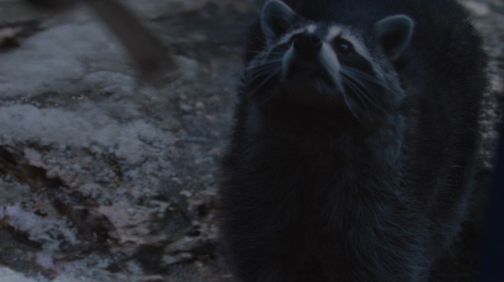 Rendered VFX Raccoon from New York Lottery TV Advert